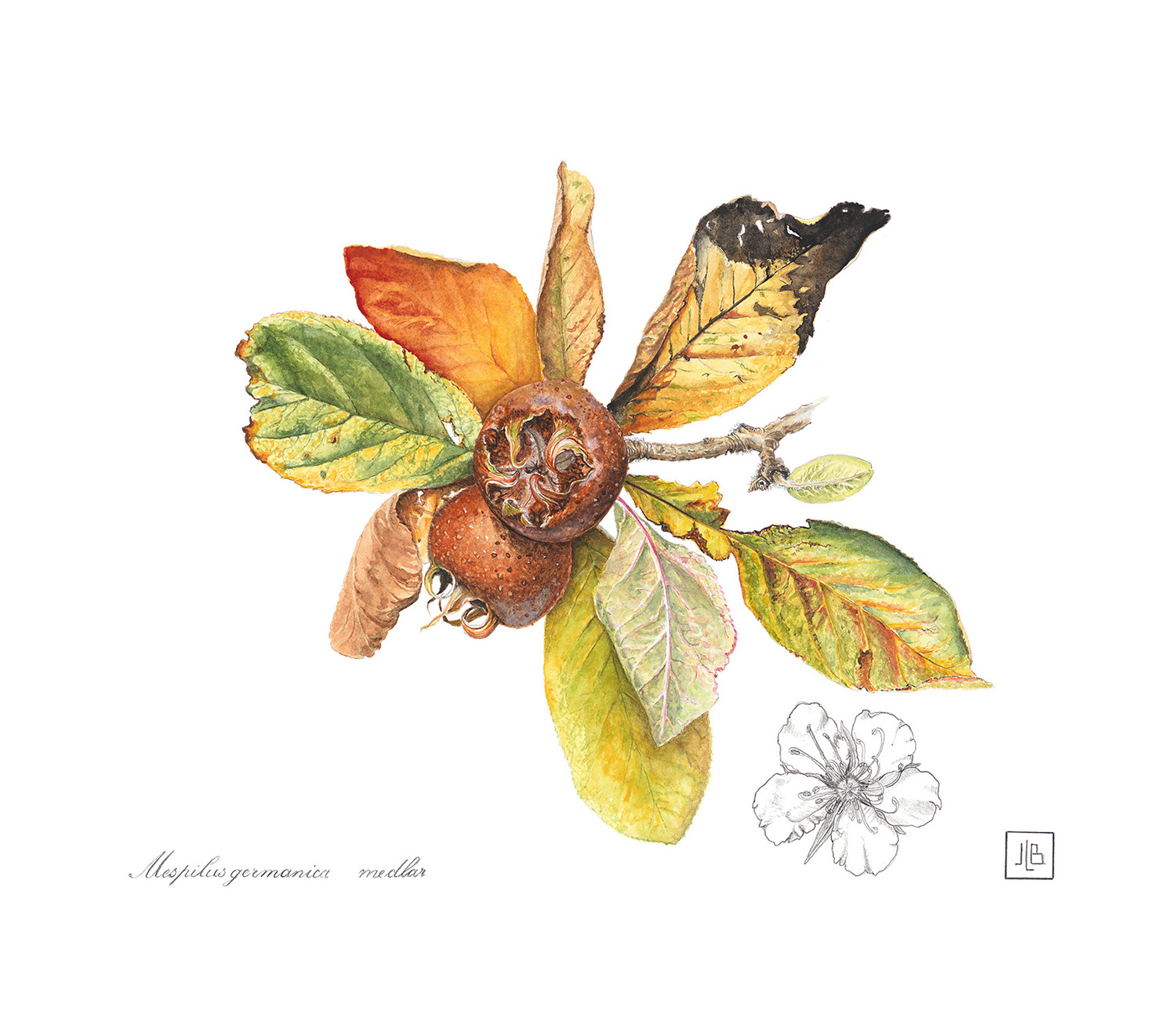 Medlar, Mespilus germanica