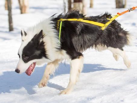 Что такое ездовое собаководство и какую шлейку выбрать?