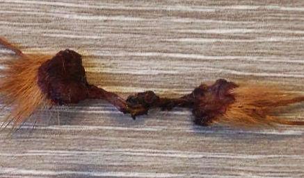Дерма-синус тайского риджбека