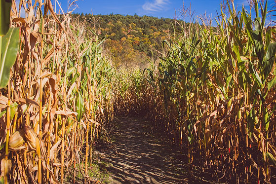 road-middle-sugar-cane-field-sunny-day-w