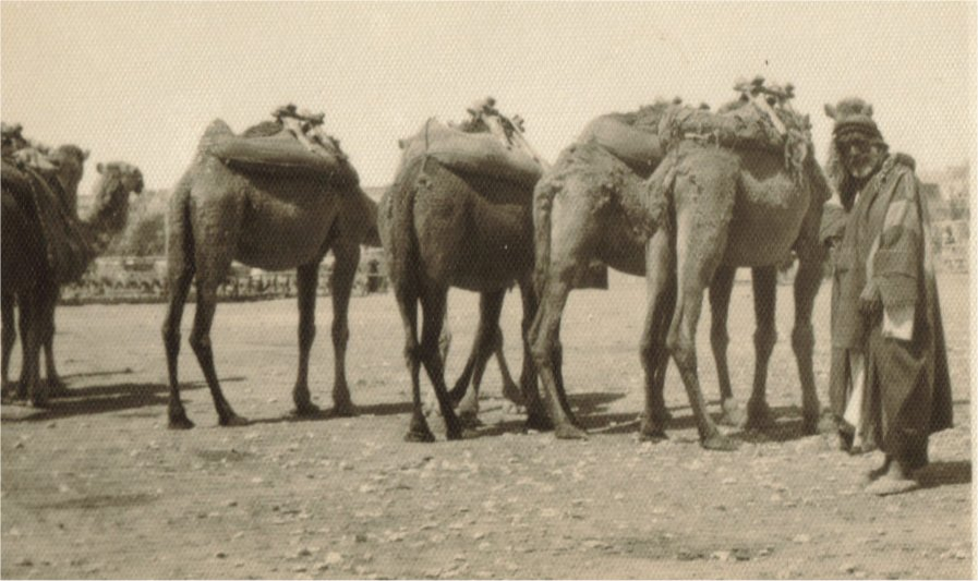 Camel train Mosul  Iraq 1942