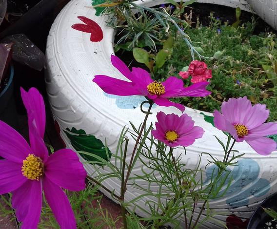 Cosmos & tyre planters