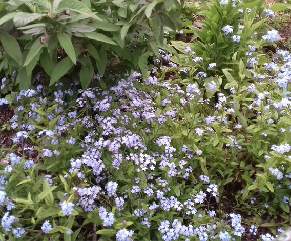 Community planting - Forget-me-not's