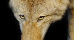 coyotebanner
