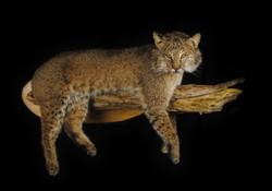 Bobcat on Limb