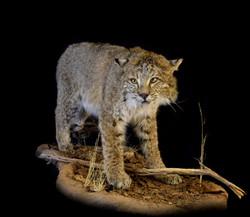 PA Bobcat
