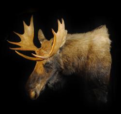 Newfoundland Moose