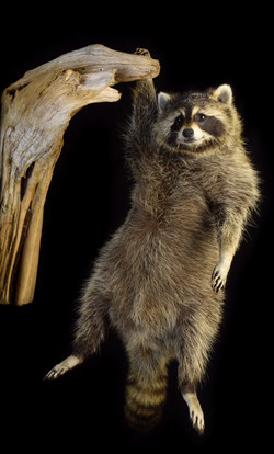 Raccoon Hanging