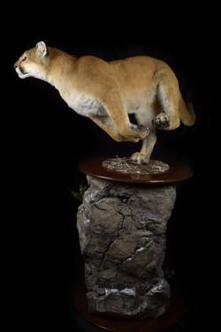 Nevada Mtn. Lion