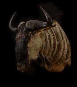 Blue Wildebeest Shoulder Mount