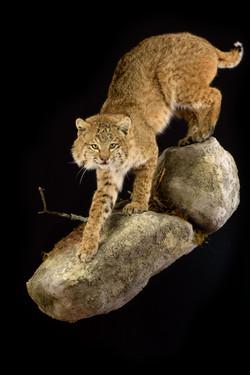 WI Bobcat