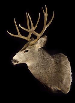 MT Mule Deer