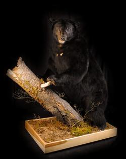 503 lb. Black Bear
