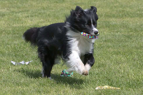 Pam Reid's dog in Test B scent.jpg