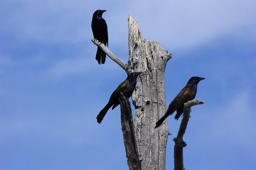 black birds in a tree