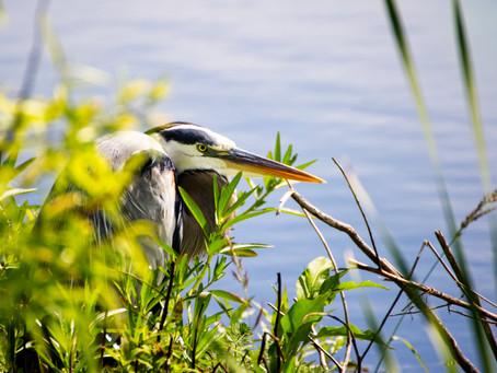 Great Blue Heron Photo Editing