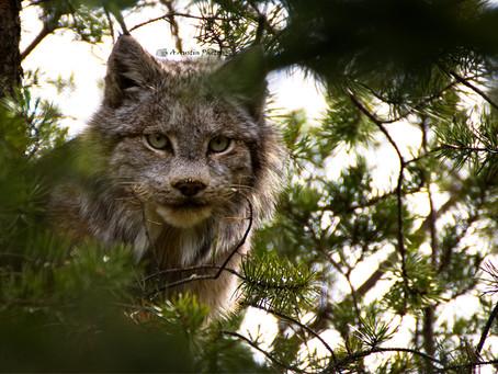 Bobcat up a tree!!