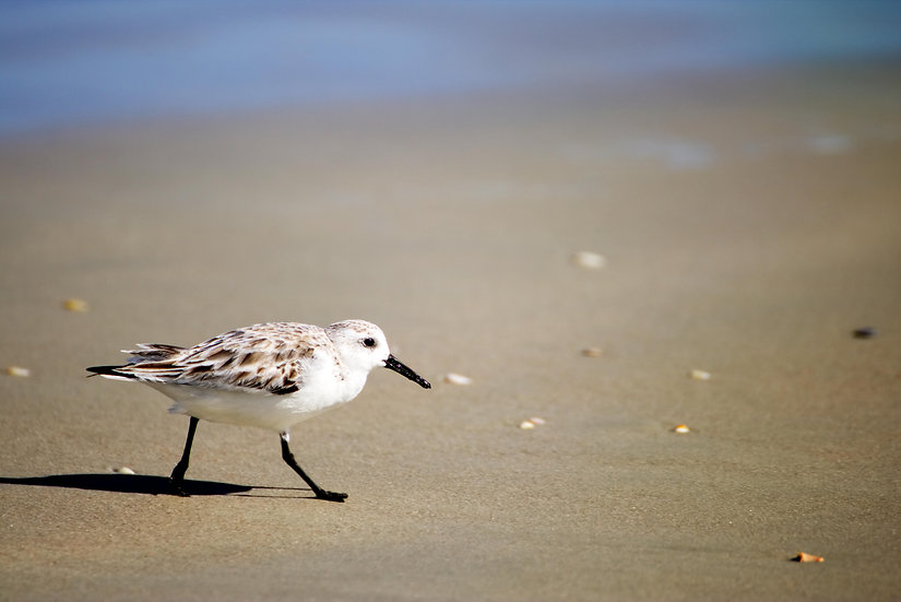 Sandpiper on the coast