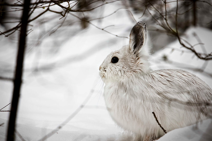 White Bunny in the Snow
