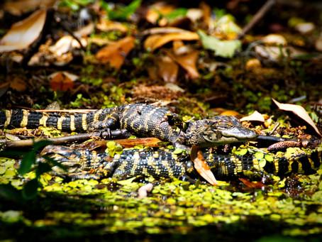 Alligators in Florida