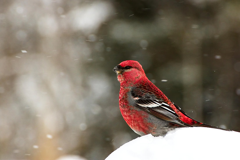 Red Pine Grosbeak in a snowstorm