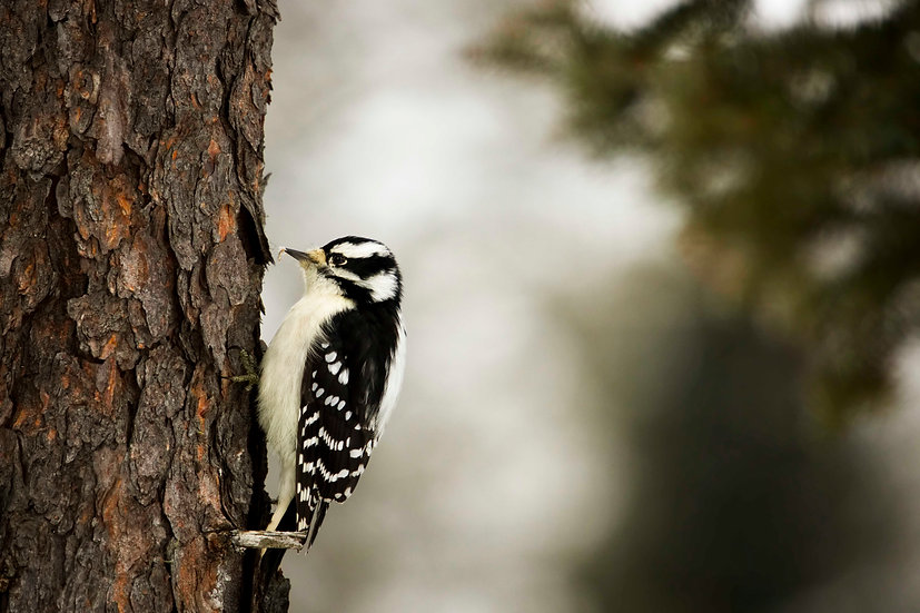 Downy Woodpecker With Lunch