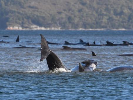 De sirenas y ballenas