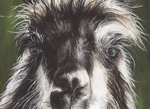 """8""""x8"""" Llama Giclee Print (Rozzie)"""