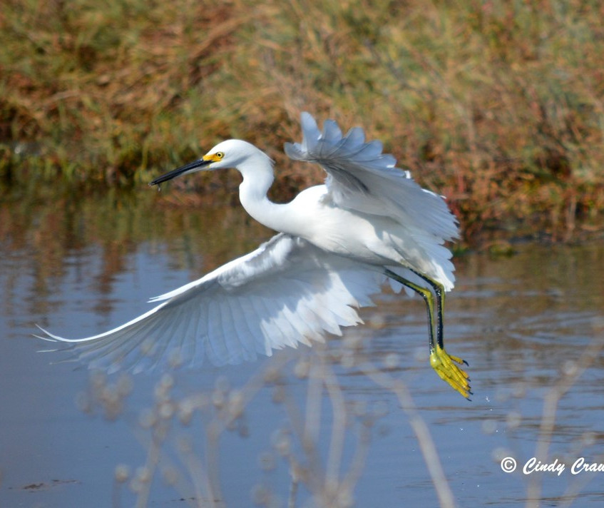 ausdubon egret flying