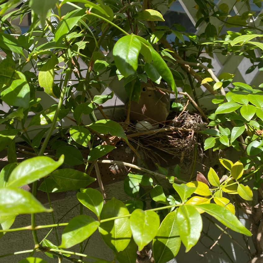 Mourning Dove & Her Eggs
