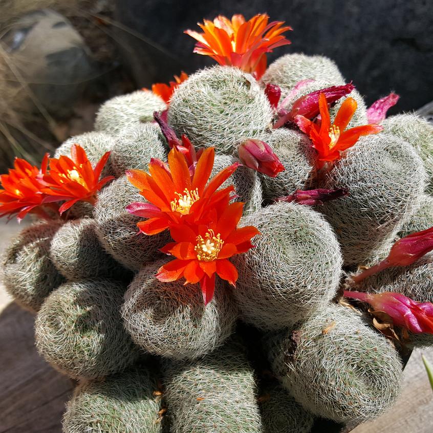 orange cactus