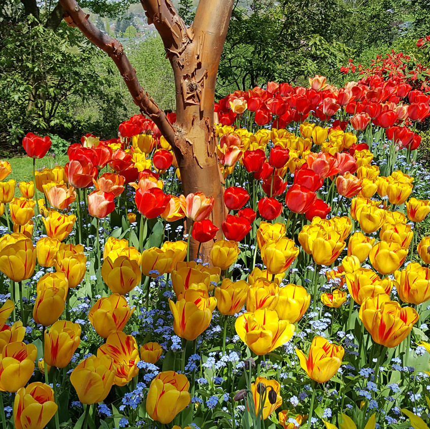 vandussen tulips