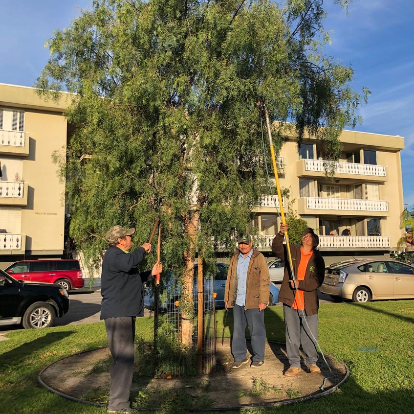 pepper tree reshaping'2020