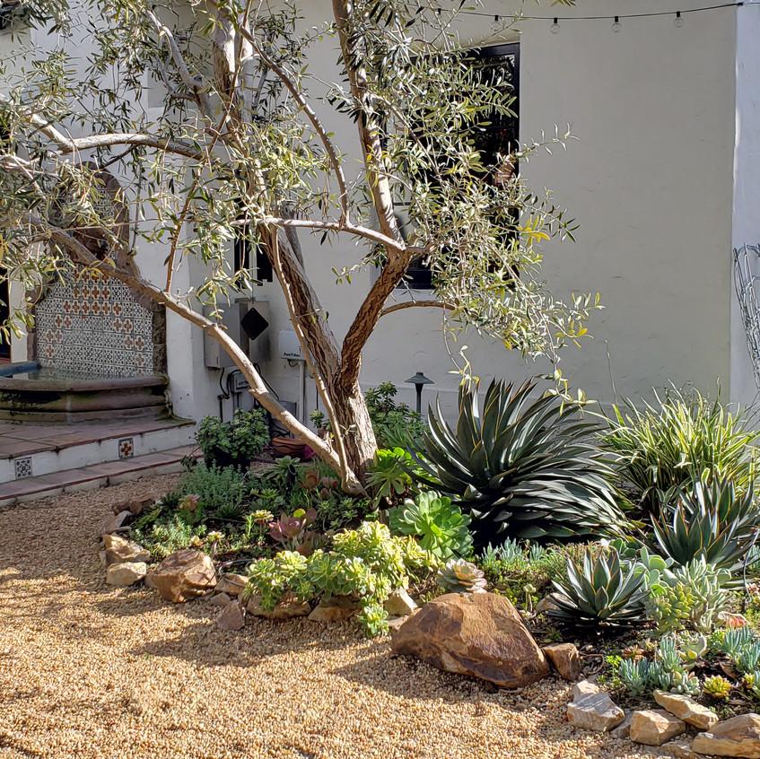 Olive tree area