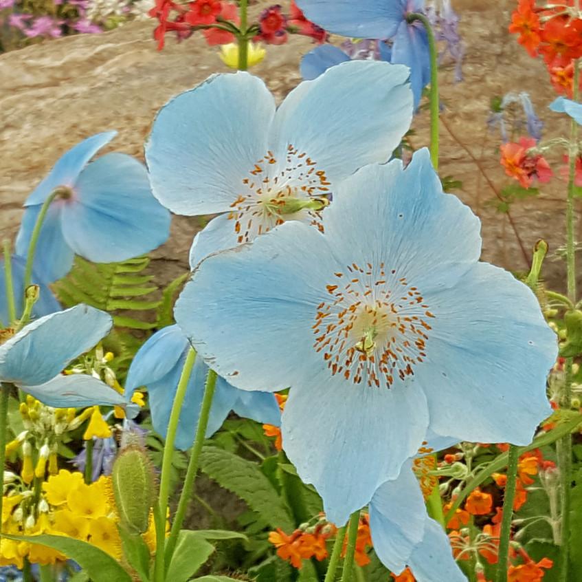 pavillion blue poppy