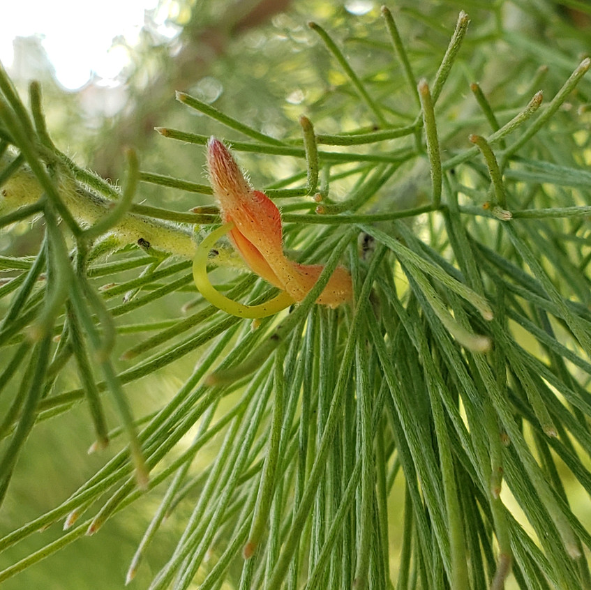 tiny feathery pine flower
