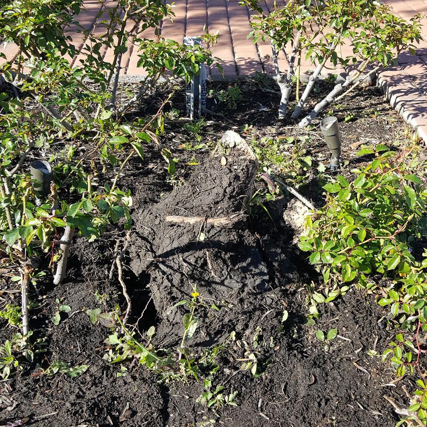 Damaged olive tree