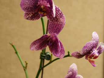HOW TO GET YOUR ORCHIDS TO REBLOOM AND CARE TIPS