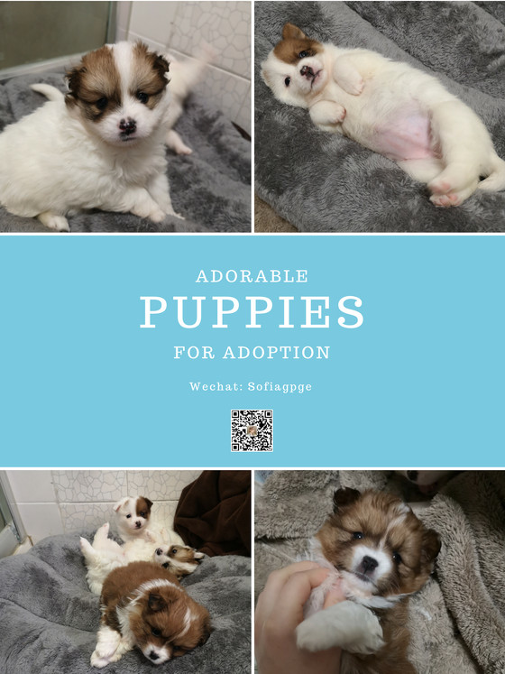 Looking for adoption-Three Puppies