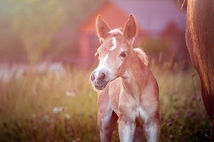 Beautiful haflinger foal - horse photo.jpg