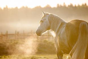 grey horse portrait in foggy cold sunrise with the steam from the nostrils.jpg