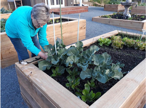 Happy Harvesting in Our Communal Gardens | Woodlands Boutique Retirement Village