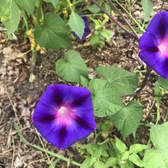 Dark purple morning glories