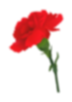 carnation_edited.png