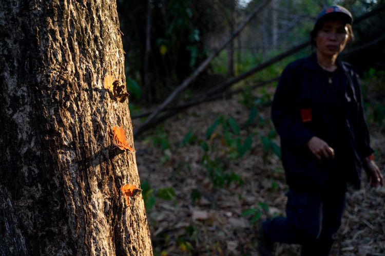 Dr. Achara Simcharoen looks at machete marks on the bark of a tree on her way back from a tiger kill. site  The marks help create a trail for researchers to follow in the jungle in the absence of trails.