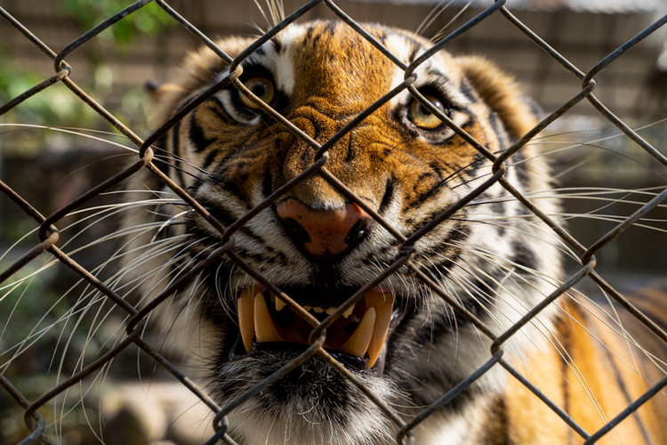 A tiger growls through the fence at a wildlife rehabilitation center near the Haui Kha Khaeng Wildlife Sanctuary in Thailand's Western Forest Complex. While tigers rescued from the illegal wildlife trade cannot be released into the wild they help educate the public on the importance of Huai Kha Khaneg's tiger population, the largest in Thailand.