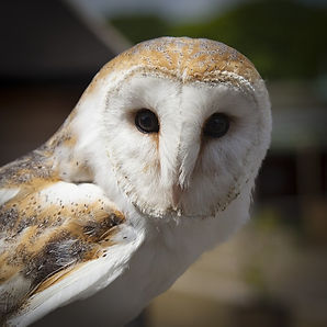 Barn owl survey Yorkshire, Water vole survey Yorkshire, Badger survey Yorkshire, Reptile survey Yorkshire