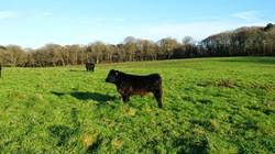 Gower Meadow Beef Welsh Black Calf