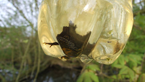 Great Crested Newt Surveys