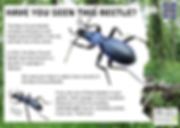 Blue Ground Beetle postcard ENG.png